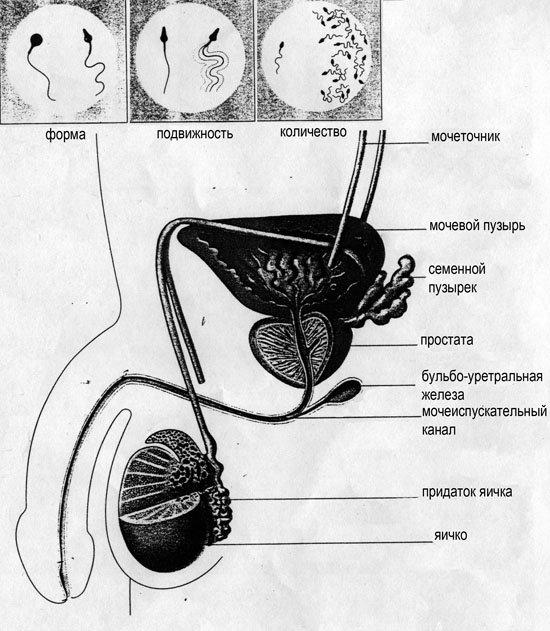 Откуда бертся сперма у мужин