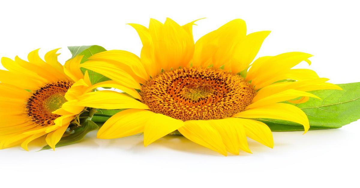 Подсолнечное масло: полезные свойства, состав и лечение